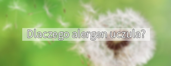 Dlaczego alergen uczula?